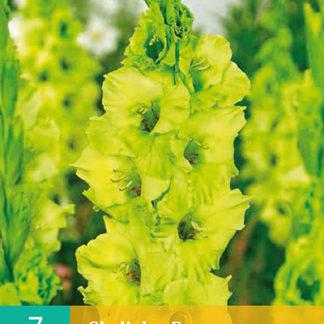Mečík (gladiola) Evergreen (7 cibulí, karta)