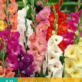 Mečík (gladiola) Large Flowering Mix (10 cibulí, směs, karta)