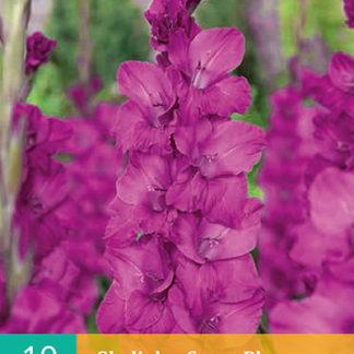 Mečík (gladiola) Sugar Plum (10 cibulí, karta)