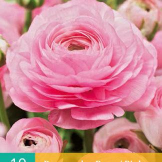 Pryskyřník plnokvětý Pink (10 cibulí, růžový, karta)