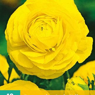 Pryskyřník plnokvětý Yellow (10 cibulí, žlutý, karta)