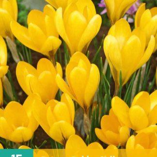 Krokus Golden Yellow (10 cibulí, žlutý, karta)