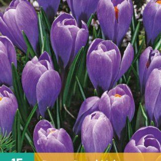 Krokus Grand Maitre (10 cibulí, fialový, karta)