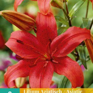 Lilie asijská Red (2 cibule, červená, karta)