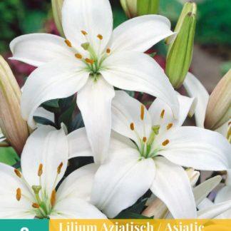 Lilie asijská White (2 cibule, bílá, karta)