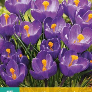 Krokus Flower Record (10 cibulí, fialový, karta)